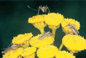 Steckmücke saugt Nektar - Tierische Schädlinge in Haus und Lager - Seite 53