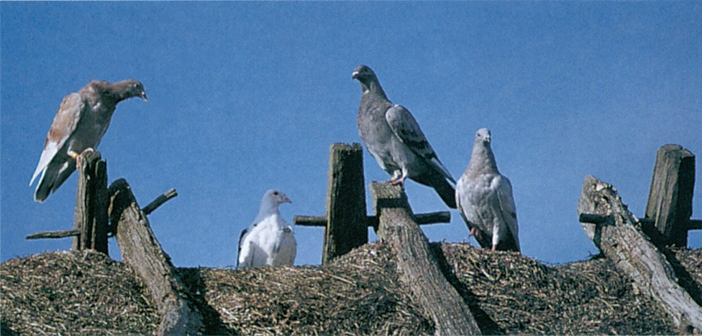 Tauben auf einem Dachfirst