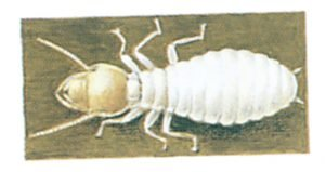 Termite, Reticulitermes flavipes