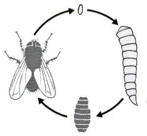 Zyklus der Fliege von Ei bis erwachsen