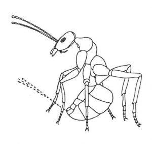 Ameise, die Ameisensäure spritzt.