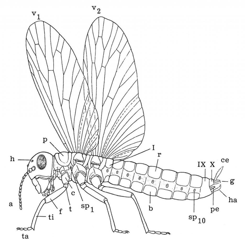 Aufbau von geflügelten Insekten