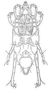 Die Milbe Chirodiscoides caviae.