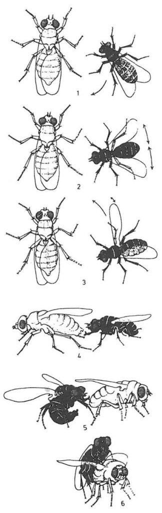 Das Vorspiel der Paarung von Insekten und Milben