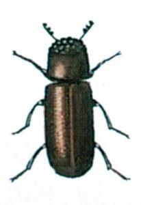 Der Getreidekapuziner, Rhyzopertha dominica