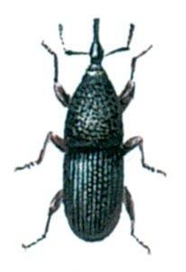 Der Kornkäfer, Sitophilus granarius