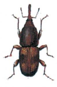 Der Reiskäfer, Sitophilus oryzae