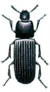Der große Reismehlkäfer, Tribolium destructor