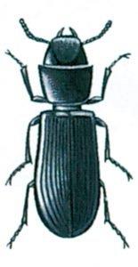 Der schwarze Getreidenager, Tenebroides mauretanicus