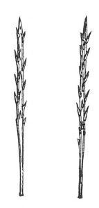 Die Haare des Kiefern-Prozessionsspinners