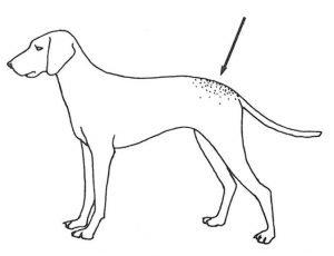Hundepelzmilben halten sich vor allem in der Lendengegend auf