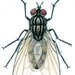 Die Stubenfliege, Musca domestica