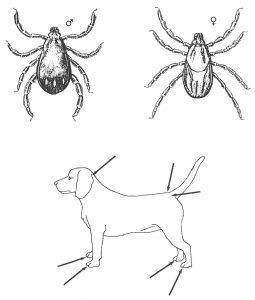 Die Unterschied zwischen der braune Hundezecke und dem dem Gemeinen Holzbock