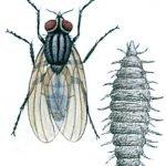 Die kleine Stubenfliege, Fanniacanicularis