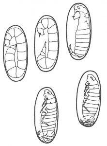 Entwicklung von Flohlarve
