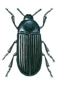 Glänzendschwarzer Der Getreideschimmelkäfer, Alphitobius diaperinus