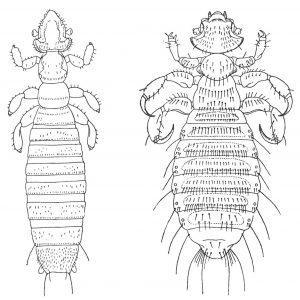 Gliricola porcelli (links) und Gyropus ovalis