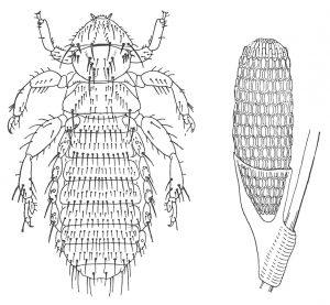 Haarling, Trimenopon jenningsi und seine Eier