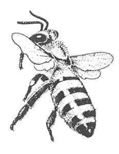 Honigbiene, die zur Landung ansetzt.