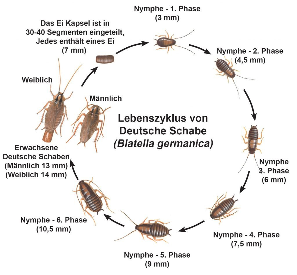 Lebenszyklus von Deutsche Schabe
