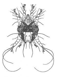 Die Ohrmilbe, Otodectes cynotis