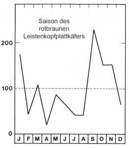 Saison des rotbraunen Leistenkopfplattkäfers