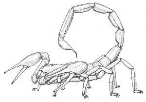 Skorpion.