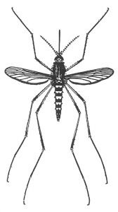 Stechmücke, Aedes vexans