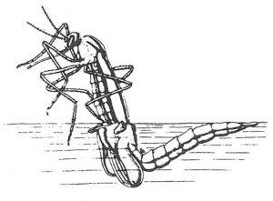 Stechmücke, die aus ihrer Puppe schlüpft.