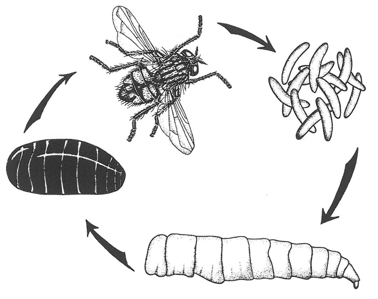 Vollständige Verwandlung der Stubenfliege