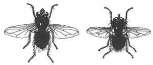 Zwei Arten Schmeißfliegen